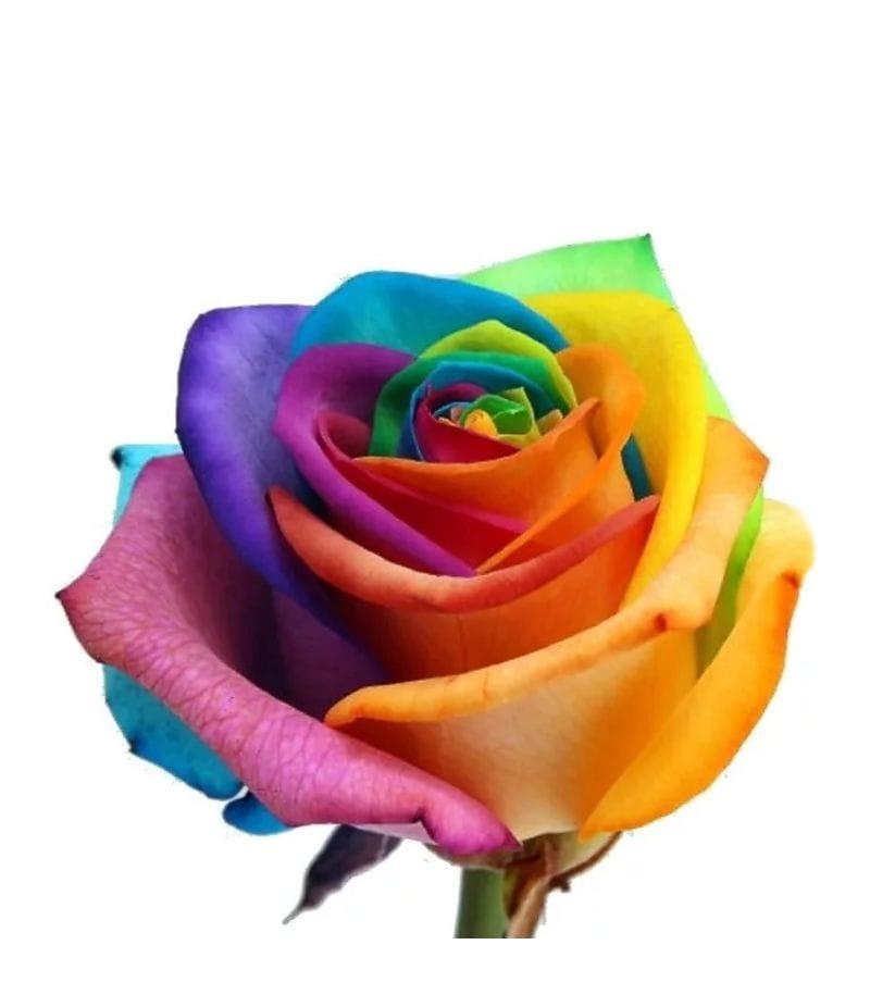 """Роза Радужная """"Rainbow Rose"""""""