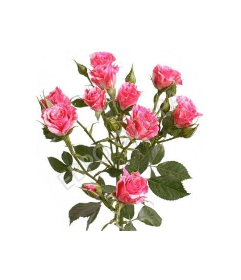 Роза кустовая №1 40см