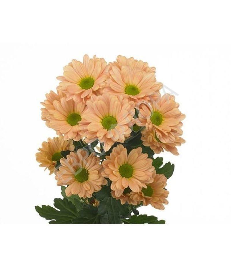 Хризантема Бакарди персиковая