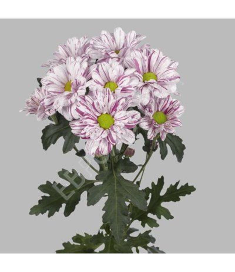 Хризантема Серенити
