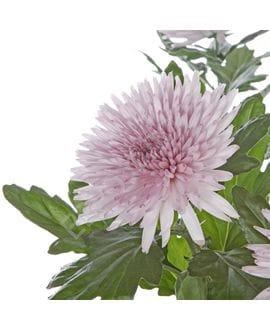 Хризантема Анастасия розовая