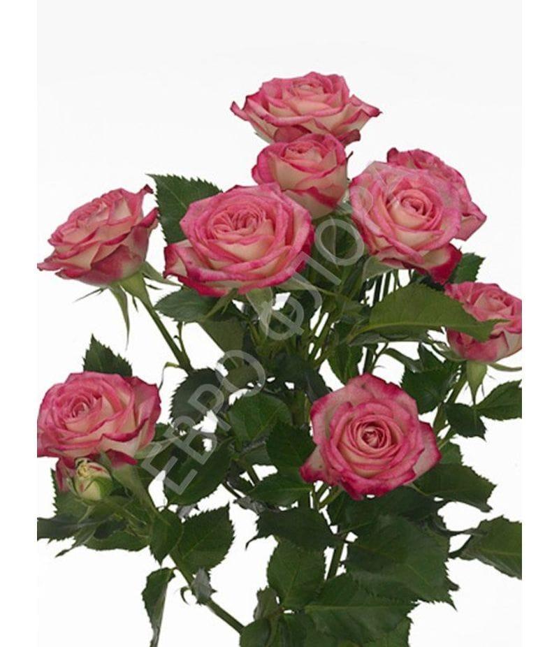 Роза кустовая №4 50см