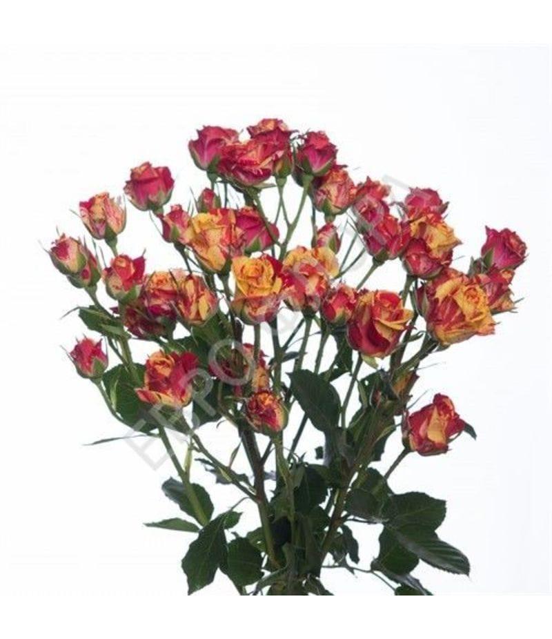 Роза кустовая №5 50см