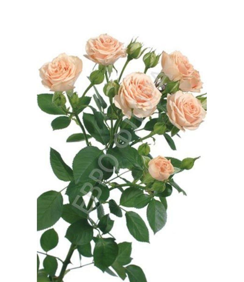 Роза кустовая №6 50см