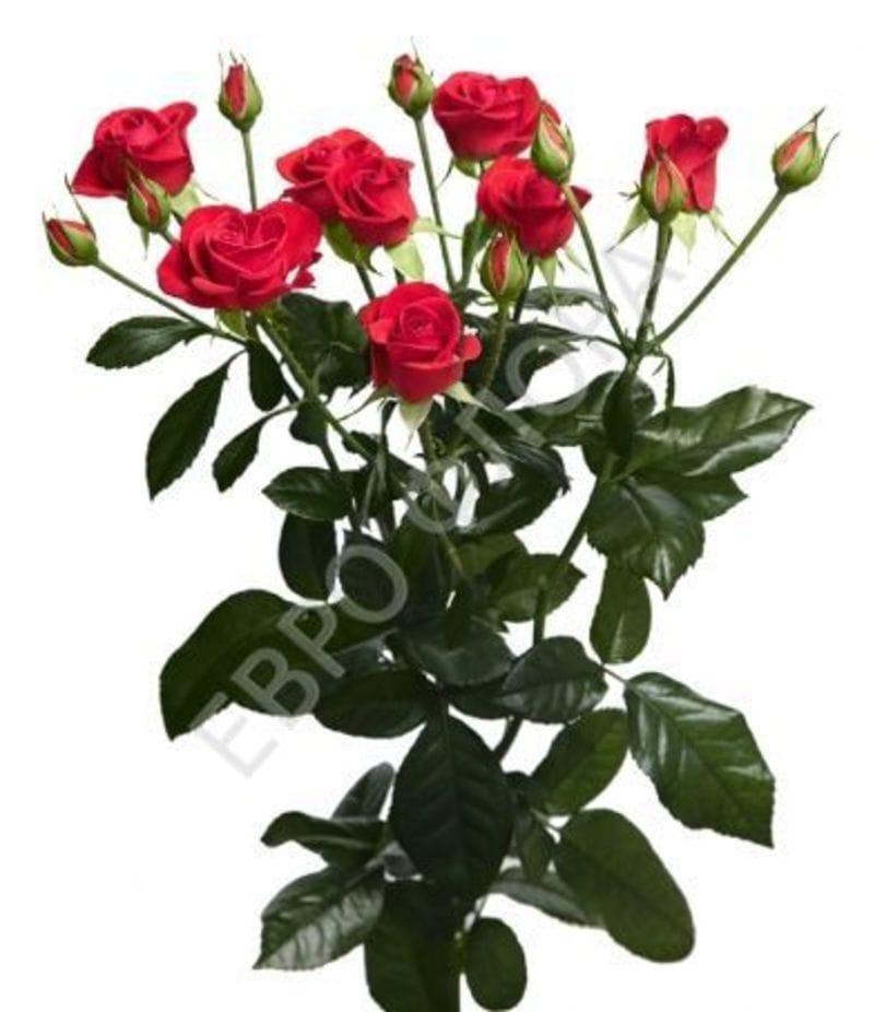 Роза кустовая №7 50см