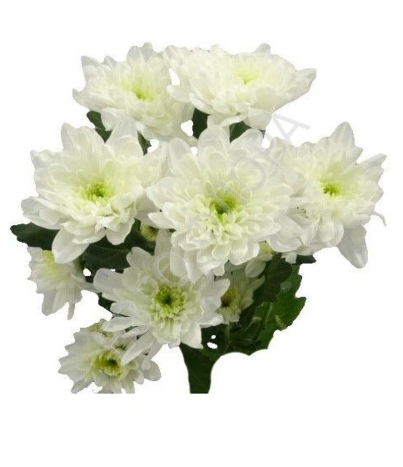 Хризантема Балтика белая