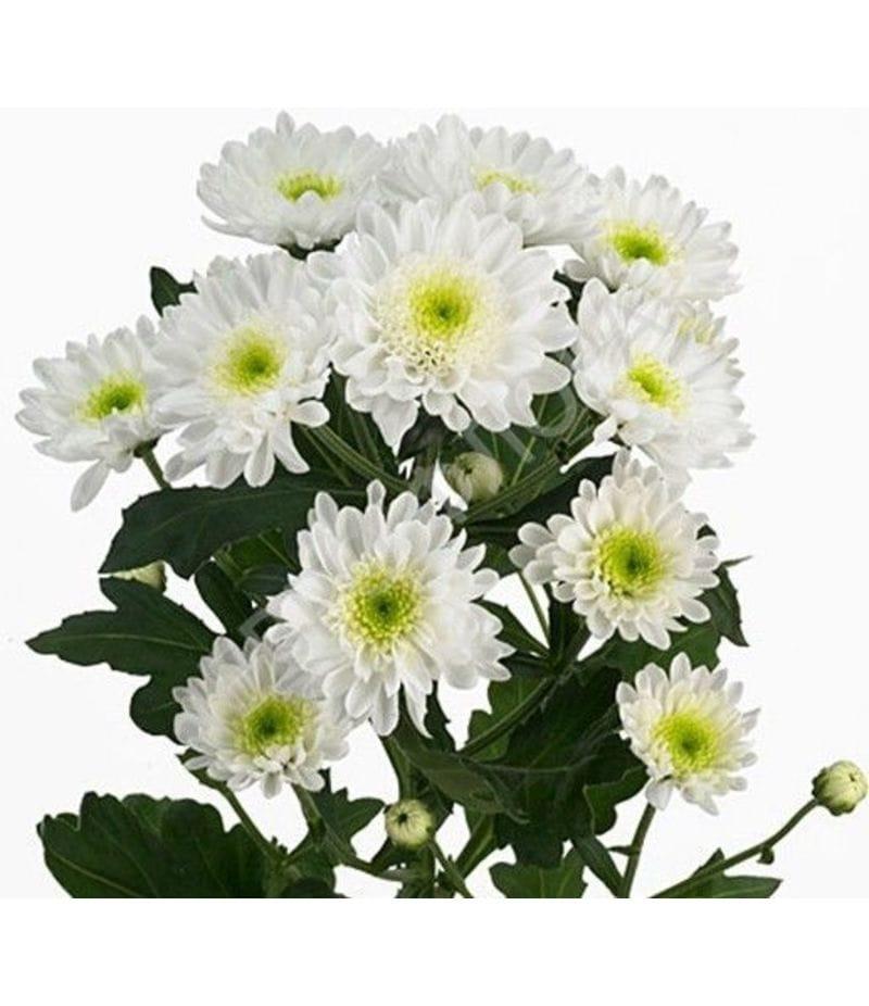 Хризантема Радость белая