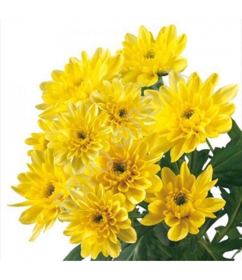 Хризантема Зембла желтая (кустовая)