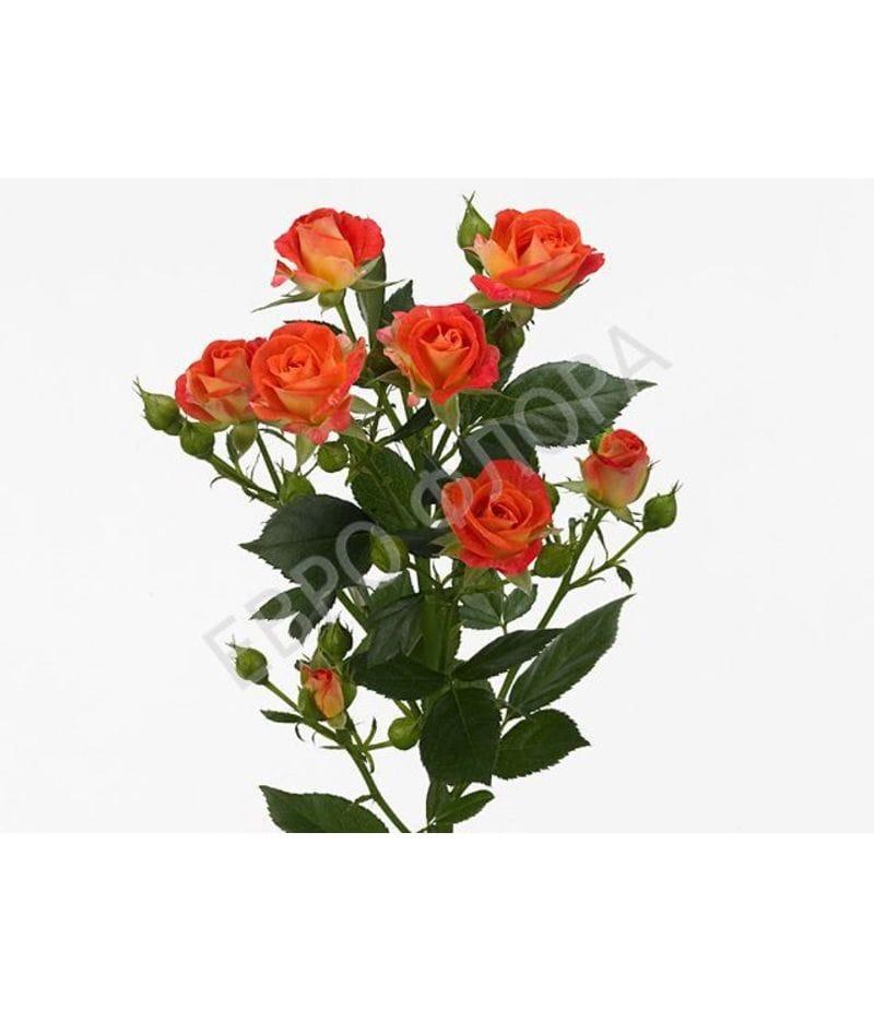 Роза кустовая №10 50см