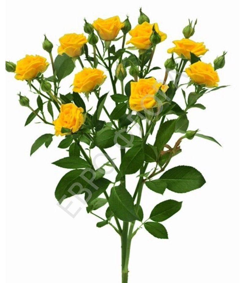 Роза кустовая №11 40 см
