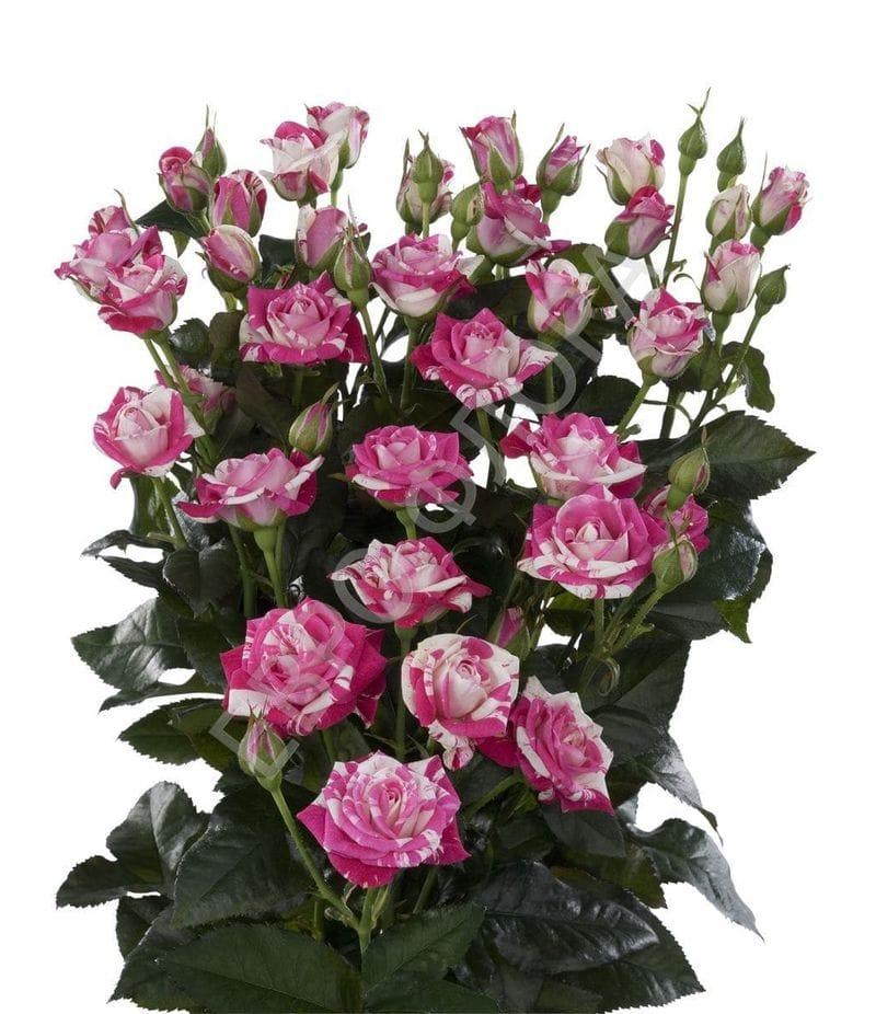 Роза кустовая №12 40см